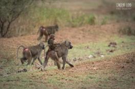 Baboons, Lake Manyara 2014