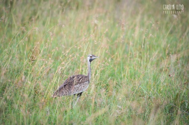 Black Bellied Bustard, Northern Serengeti 2014