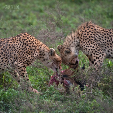 Cheetah with Kill, Southern Serengeti 2014
