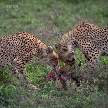 Cheetah with Kill, Southern Serengeti 2014