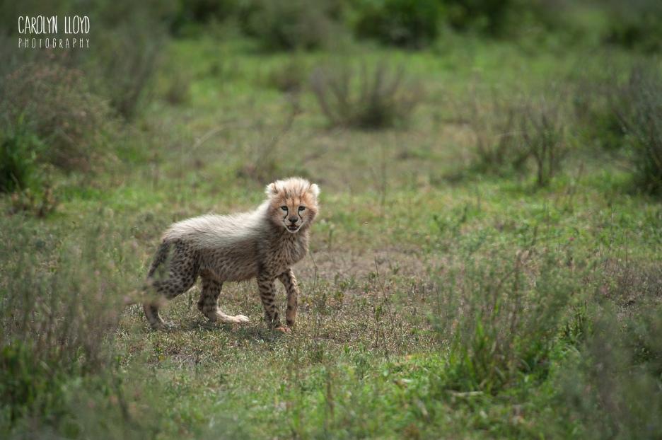 Baby Cheetah, Southern Serengeti 2014