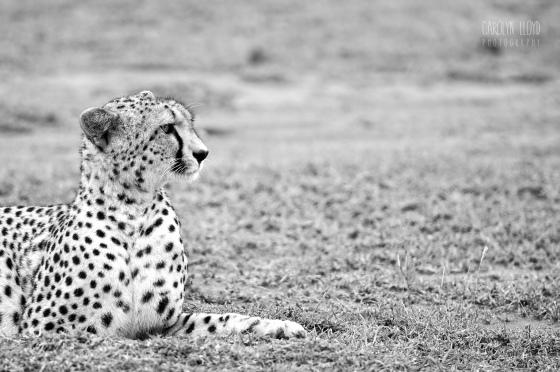 Cheetah, Southern Serengeti 2014