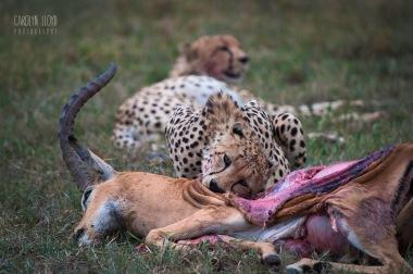 Cheetah with Kill, Northern Serengeti 2014