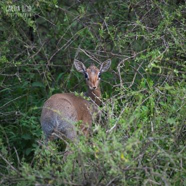Dikdik, Southern Serengeti 2014