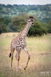 Young Giraffe, Northern Serengeti 2014