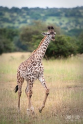 Young Giraffe, Northern Serengeti 2014