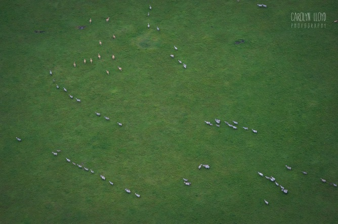 Herds from Above, Northern Serengeti 2014