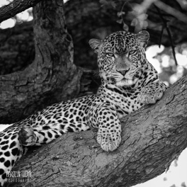 Leopard, Northern Serengeti 2014