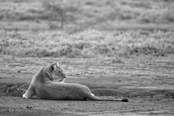 Lioness, Southern Serengeti 2014