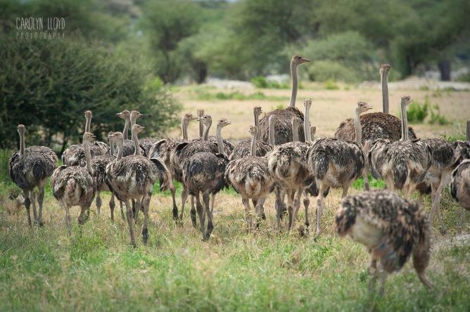 Ostrich flock, Tarangire 2014