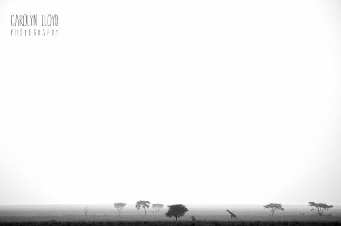 Giraffe, Southern Serengeti 2014