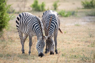 Zebras, Tarangire 2014