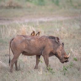 Warthog, Tarangire 2014
