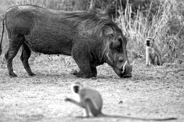 Warthog and Vervet Monkeys, Tarangire 2014
