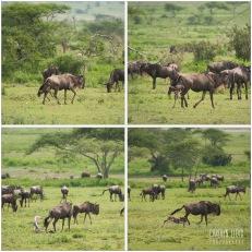 Wildebeest Calving, Southern Serengeti 2014