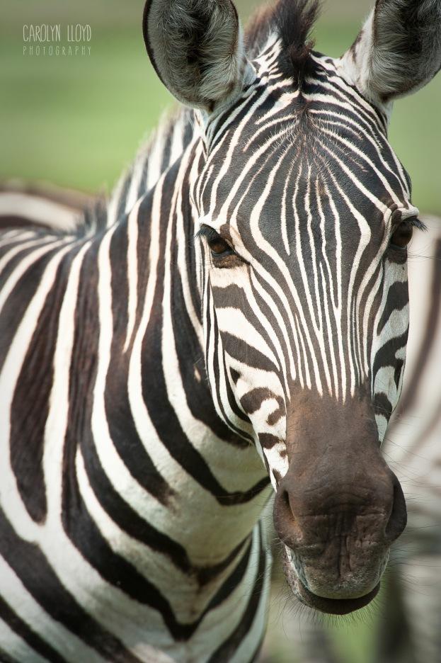 CLP_Zebra_CU