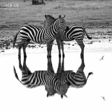 Zebra, Southern Serengeti 2014