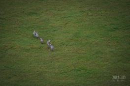 Zebras from above, Northern Serengeti 2014