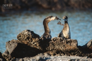 CLP_cormorants