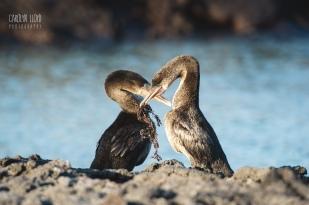 CLP_cormorants2