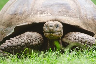 CLP_Land_Tortoise_CU