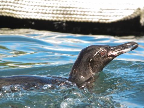 CLP_penguin