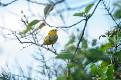 CLP_yellowwarbler